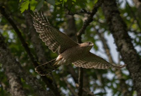 Lessons about Seattle from the Cooper's hawk