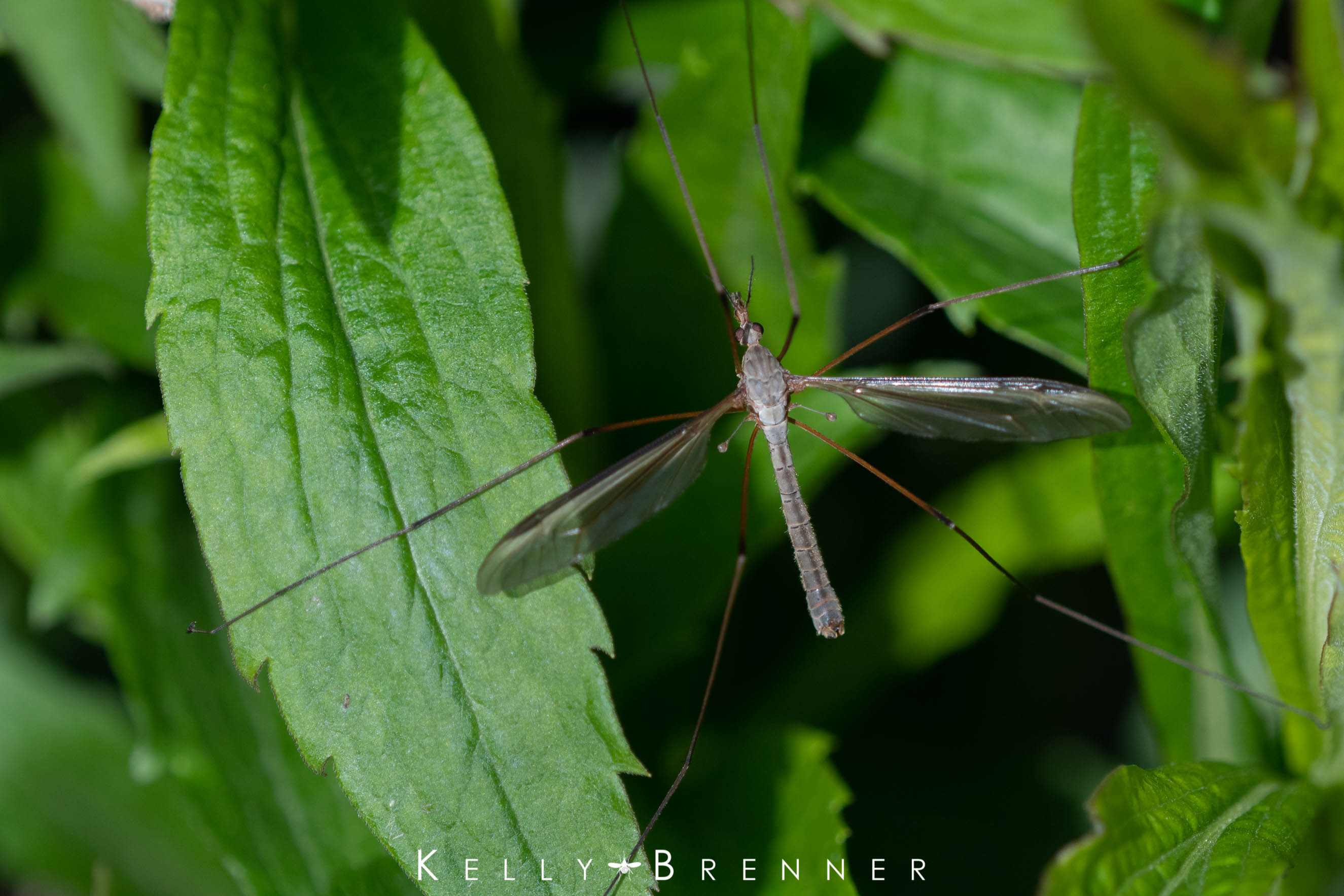 Diary of an Urban Wild Garden: Crane Fly Frenzy