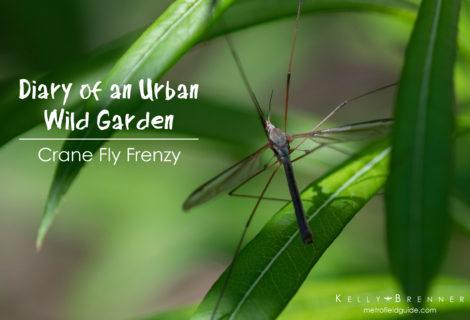 Diary of an Urban Wild Garden: Crane Fly Frenzy