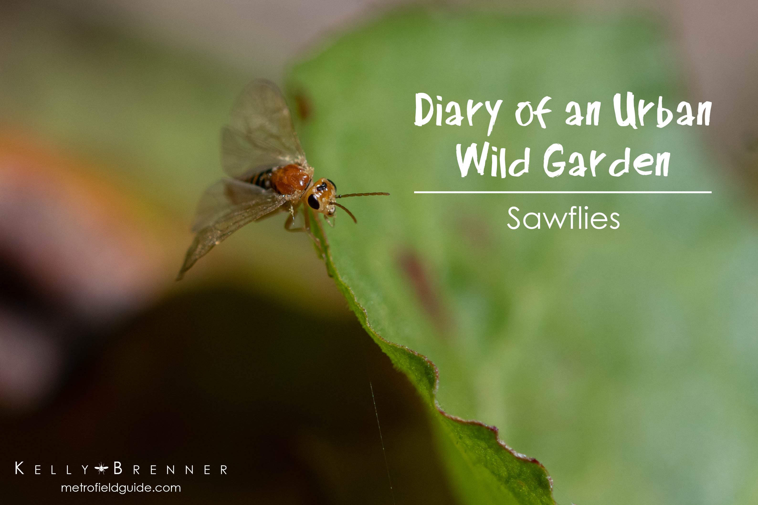 Diary of an Urban Wild Garden: Sawflies