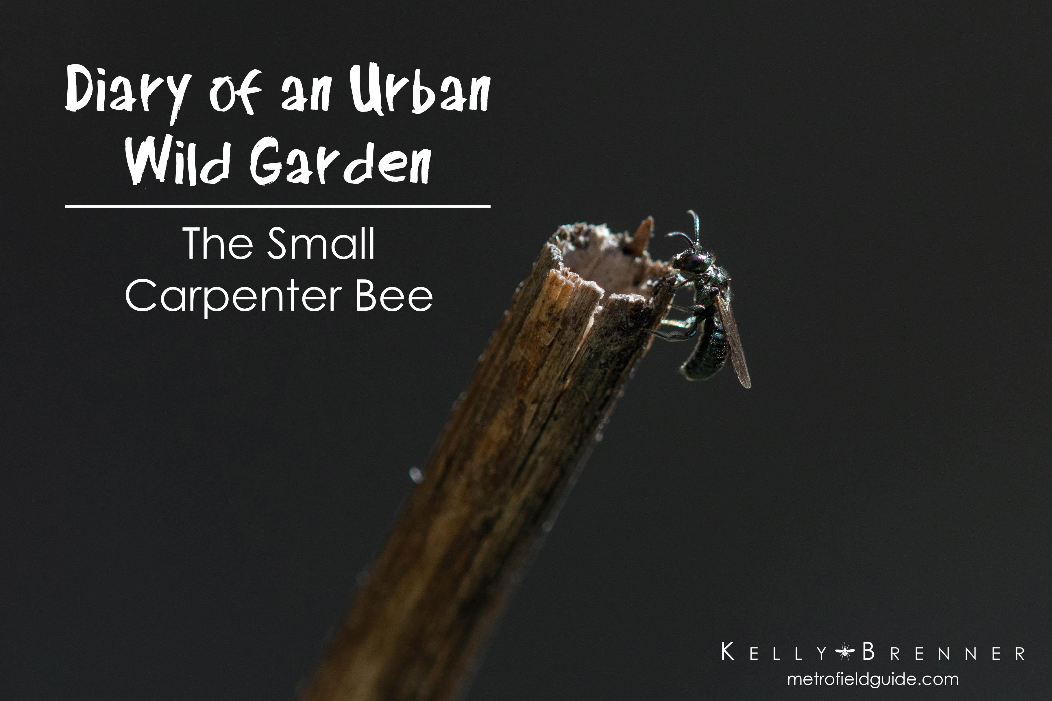 Diary of an Urban Wild Garden: The Small Carpenter Bee