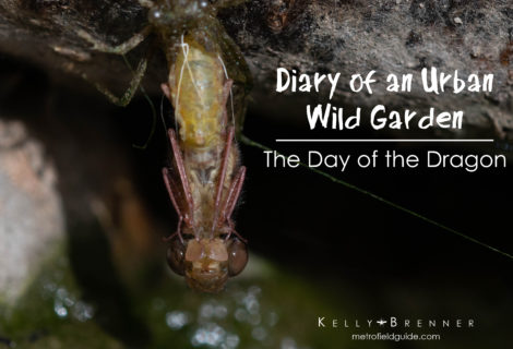 Diary of an Urban Wild Garden: The Day of the Dragon