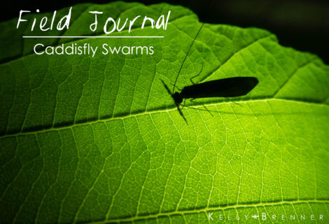 Field Journal: Caddisfly Swarms