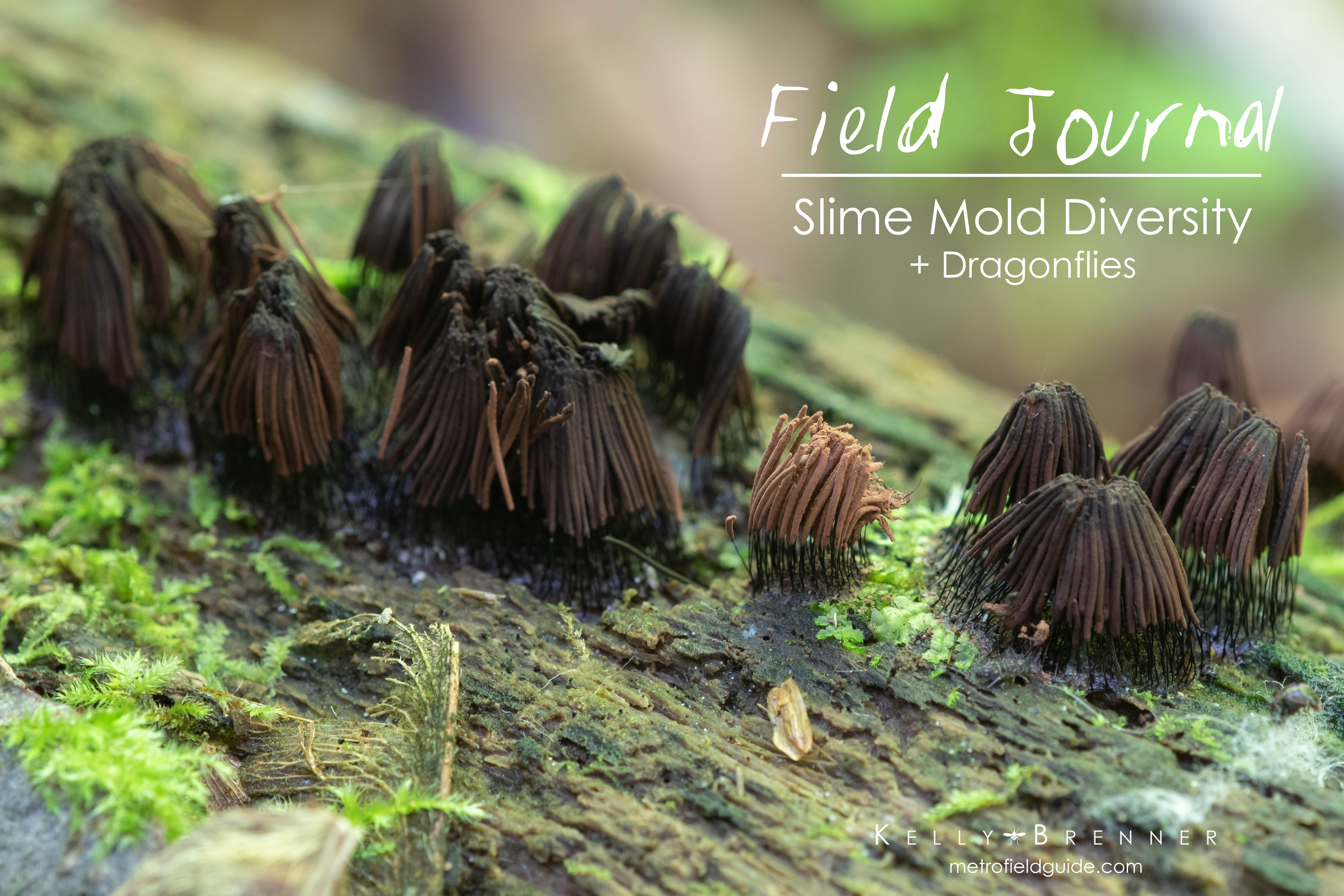 Field Journal: Slime Mold Diversity + Dragonflies