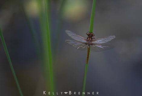 Poem of the Week: The Dragonfly