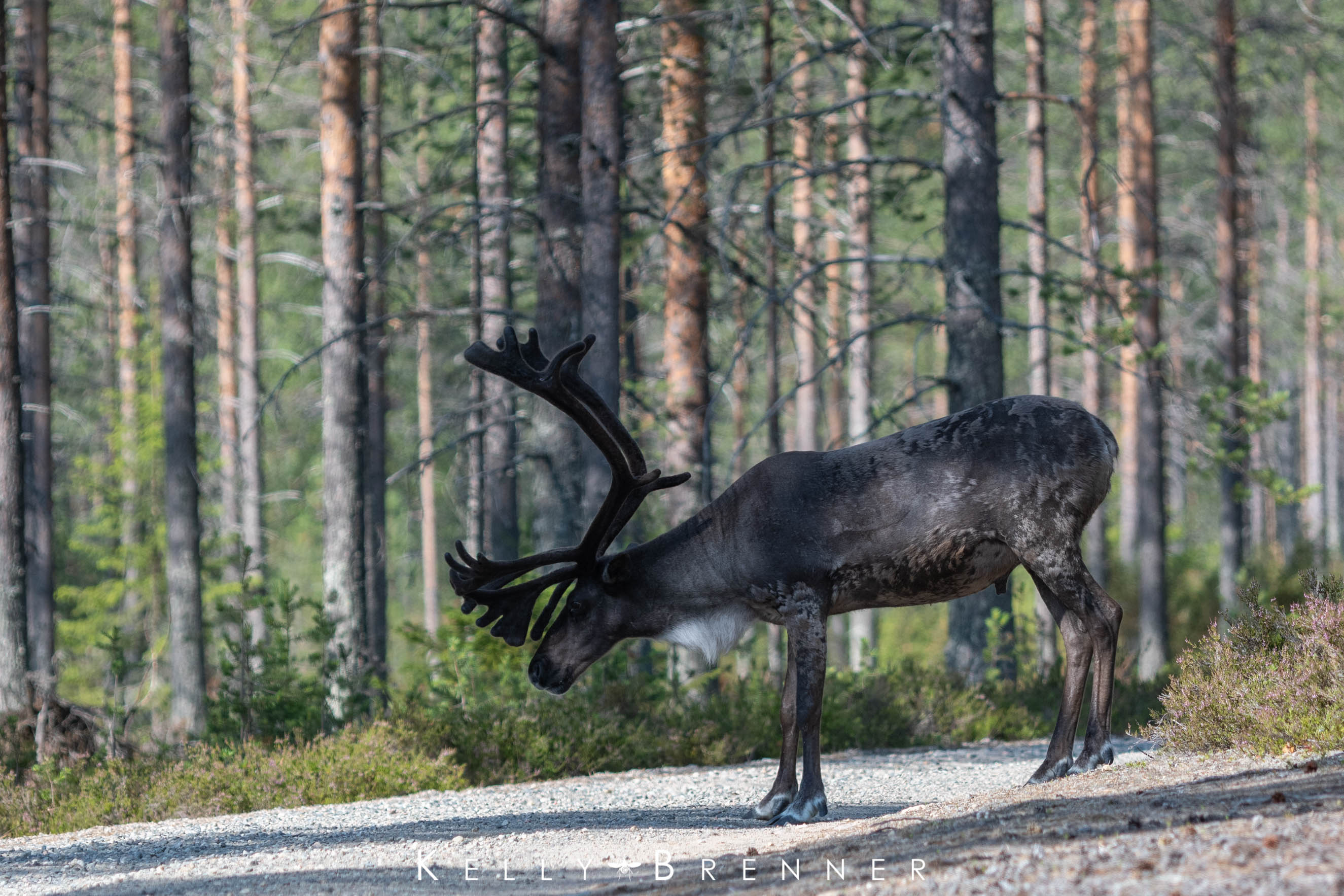 Poem of the Week: These are the days that Reindeer love