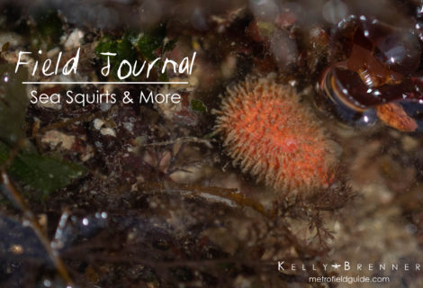Field Journal: Sea Squirts & More
