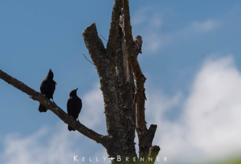 Poem of the Week: Two Old Crows