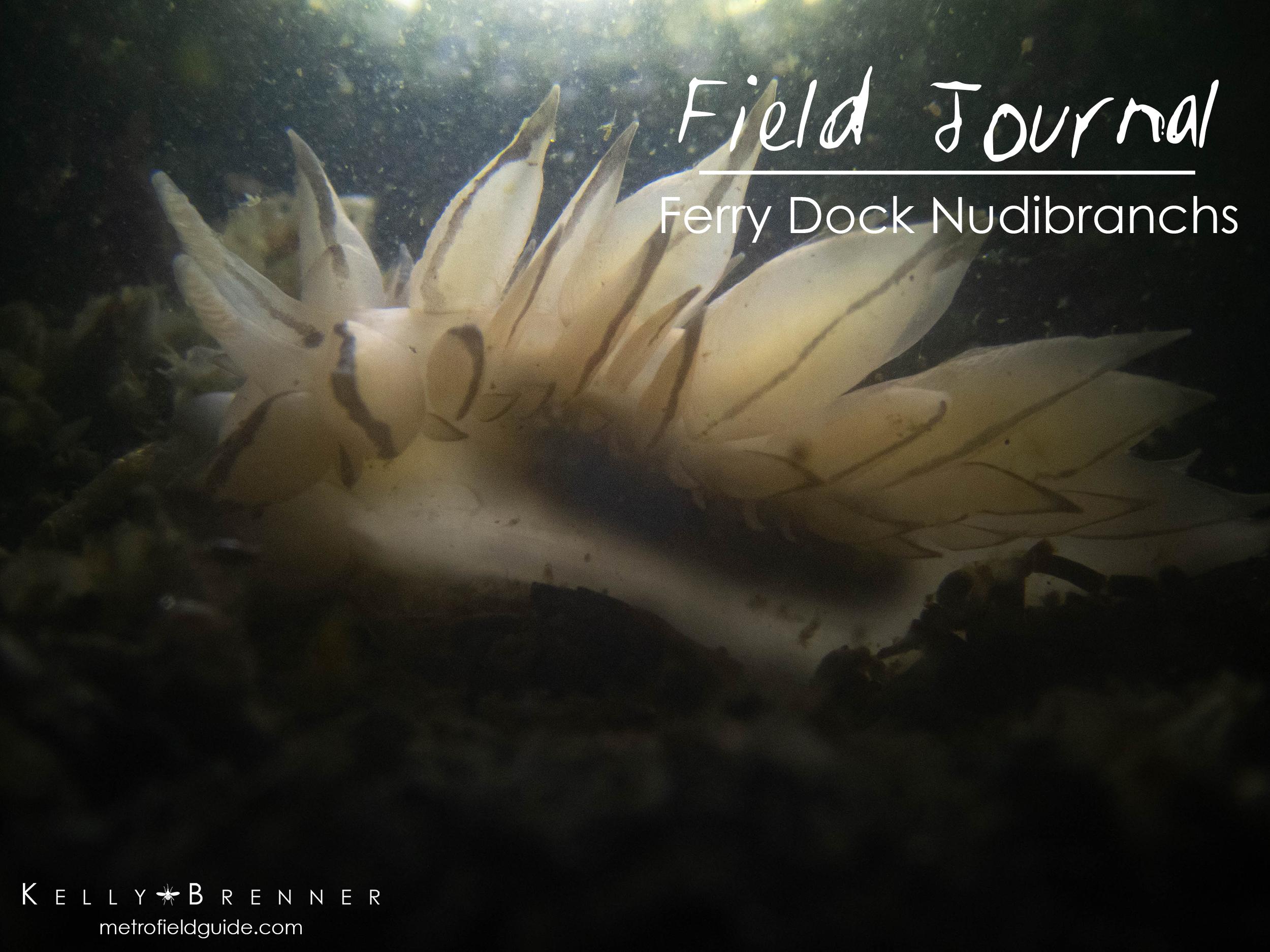 Field Journal: Ferry Dock Nudibranchs