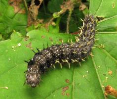 Wildlife Plant:: Stinging Nettle