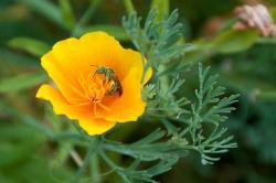 Wildlife Plants:: California Poppy