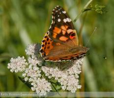 Urban Species Profile:: Painted Lady Butterfly