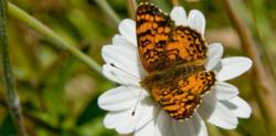 Urban Species Profile:: Mylitta Crescent