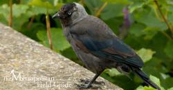 Urban Species Profile:: Jackdaw