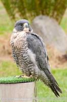 Urban Species Profile:: Peregrine Falcon