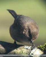 Urban Species Profile:: Bushtit