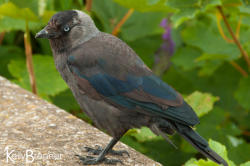 Urban Species Profile:: Jackdaw