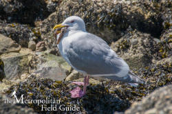On Being Misunderstood:: Gulls