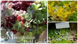 Wildlife Plants:: Broad-leaved Stonecrop